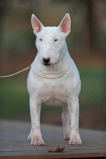 Welcome to The Home of Dogmore Bull Terriers - Bluemont